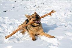 Un giovane pastore tedesco sta giocando con un bastone sulla neve fotografia stock libera da diritti