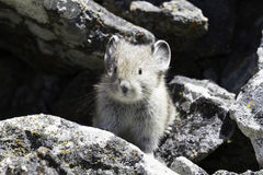 Un giovane pika (Ochotona princeps) fra le rocce Fotografia Stock Libera da Diritti