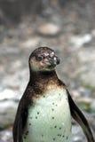 Un giovane pinguino di Humboldt Fotografia Stock