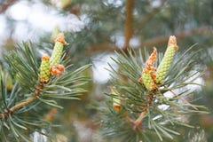 Un giovane ramoscello del pino con un piccolo grumo rimosso fotografie stock