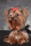 Un giovane Yorkshire terrier della razza del cane con un arco rosso Fotografia Stock