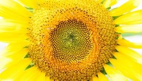 Un girasol amarillo brillante completo centrado y primer en su centro, Foto de archivo