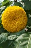 Un girasol amarillo 'oso de peluche' fotos de archivo libres de regalías