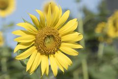Un girasol brillante y una abeja en el cielo azul Imagen de archivo