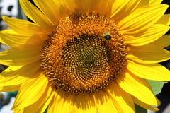 Un girasol con una abeja que zumba alrededor del centro Fotos de archivo libres de regalías