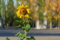Un girasol en un día soleado fotografía de archivo