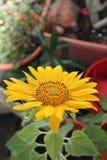 Un girasol en nuestro jardín Foto de archivo libre de regalías