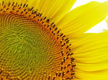 Un girasol florece. Foto de archivo libre de regalías