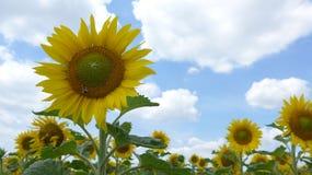 Un girasol floreciente hermoso en verano Fotos de archivo