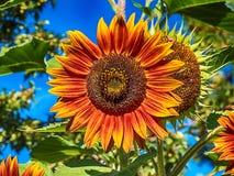 Un girasol llameante amarillo-naranja con el fondo de las plantas verdes foto de archivo