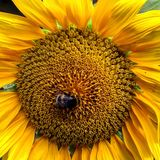 Un girasol ucraniano hermoso con una abeja Fotografía de archivo