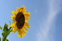 Un girasole contro cielo blu Fotografie Stock
