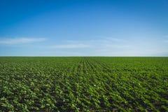 Un gisement et un ciel de tournesol Photographie stock libre de droits