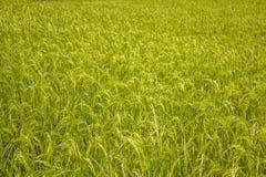 Un gisement frais vert clair de riz oreilles croissantes de riz image libre de droits