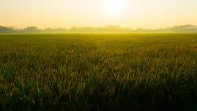 Un gisement jaune vert de riz sur l'Indonésie pekalongan Photos libres de droits