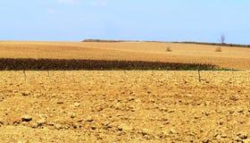 Un gisement sec de tournesol Image libre de droits