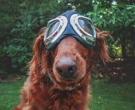 Un golden retriever adorable se reposant en parc avec le gogg d'aviateur photos stock