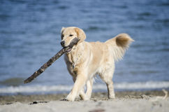 Un golden retriever allegro Fotografie Stock Libere da Diritti