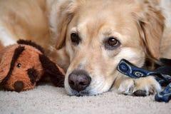 Un golden retriever cuelga con los juguetes Foto de archivo
