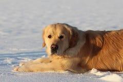 Un golden retriever hermoso que se acuesta en invierno Imagen de archivo
