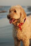 Un Goldendoodle sul suo primo viaggio alla spiaggia in Hilton Head, Carolina del Sud Fotografia Stock
