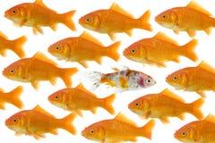 Un goldfish étant différent Photographie stock