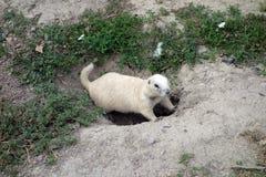 Un Gopher blanco en Dakota del Sur foto de archivo libre de regalías