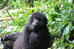 Un gorila de montaña joven imagen de archivo libre de regalías