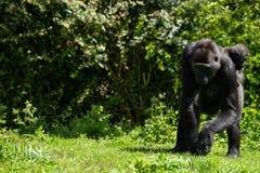 Un gorila occidental occidental adulto con su bebé en Bristol Zoo, Reino Unido fotos de archivo libres de regalías