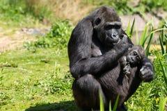 Un gorila occidental occidental adulto con su bebé en Bristol Zoo, Reino Unido fotografía de archivo