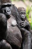 Un gorila occidental occidental adulto con su bebé en Bristol Zoo, Reino Unido imagenes de archivo