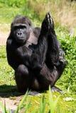 Un gorila occidental occidental adulto con su bebé en Bristol Zoo, Reino Unido fotografía de archivo libre de regalías