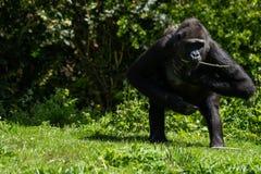 Un gorila occidental occidental adulto en Bristol Zoo, Reino Unido fotos de archivo