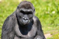 Un gorila occidental occidental adulto en Bristol Zoo, Reino Unido fotografía de archivo libre de regalías