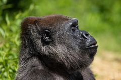 Un gorila occidental occidental adulto que alimenta en Bristol Zoo, Reino Unido fotos de archivo libres de regalías