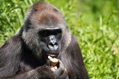Un gorila occidental occidental adulto que alimenta en Bristol Zoo, Reino Unido imágenes de archivo libres de regalías
