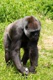 Un gorila occidental occidental adulto que alimenta en Bristol Zoo, Reino Unido fotos de archivo
