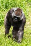 Un gorila occidental occidental adulto que alimenta en Bristol Zoo, Reino Unido imagen de archivo libre de regalías