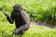 Un gorila occidental occidental joven que alimenta en Bristol Zoo, Reino Unido imagen de archivo