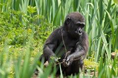 Un gorila occidental occidental joven que alimenta en Bristol Zoo, Reino Unido fotografía de archivo libre de regalías