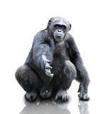 Un gorila que se sienta en el fondo blanco, aislado imágenes de archivo libres de regalías