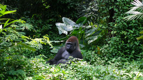Un Gorilla Silverback Mountain salvaje en selva tropical Fotografía de archivo