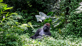 Un Gorilla Silverback Mountain salvaje en selva tropical Fotos de archivo