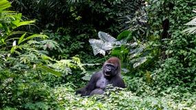 Un Gorilla Silverback Mountain salvaje en selva tropical Imágenes de archivo libres de regalías