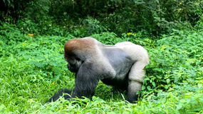 Un Gorilla Silverback Mountain sauvage dans la jungle tropicale Photos libres de droits