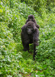 Un gorille de montagne femelle avec un bébé l'ouganda Bwindi Forest National Park impénétrable photos libres de droits