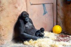 Un gorille de montagne femelle prend soin de son bébé image libre de droits