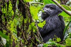 Un gorille mange des feuilles dans la forêt impénétrable photos stock
