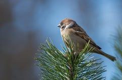 Un gorrión en un top de un árbol de pino fotografía de archivo