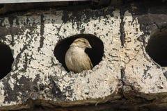 Un gorrión mira a escondidas de un agujero en un bloque de cemento Fotos de archivo libres de regalías
